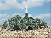 TR0916 : Dungeness: a sea kale and the new lighthouse by Chris Downer