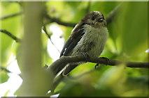 SJ3999 : Juvenile Long-tailed Tit (Aegithalos caudatus), Melling by Mike Pennington