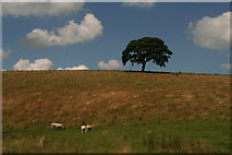 SE9436 : Lone tree by the Yorkshire Wolds Way in Swin Dale by Chris