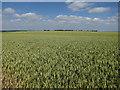 TL3465 : Huge wheat field by Hugh Venables