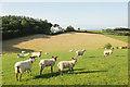 SS6524 : Sheep and Lambs Grazing by David Brinicombe