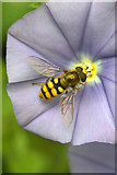 SJ3999 : The hoverfly Eupeodes corollae, Melling by Mike Pennington