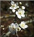 SX9066 : Blackthorn, Nightingale Park by Derek Harper