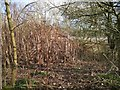 SP3476 : South side of a stand of Japanese knotweed by the A444, Stivichall, Coventry by Robin Stott