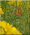 TQ2072 : Gatekeeper butterfly on ragwort by Stefan Czapski