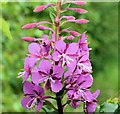 J3268 : Willowherb, Minnowburn, Belfast (July 2015) by Albert Bridge