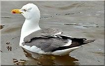 J4774 : Lesser black-backed gull, Kiltonga, Newtownards (July 2015) by Albert Bridge