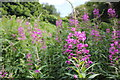 SJ5176 : Rosebay Willowherb by Jeff Buck