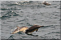 NG1013 : Dolphins in the Minch by John Allan