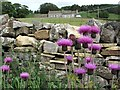 NY7148 : Melancholy Thistles (Cirsium heterophyllum) on road verge near Newshield by Andrew Curtis