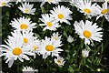 SO6360 : Ox-eye daisies by Philip Halling