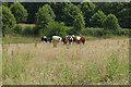 TQ0548 : Cattle near Albury by Alan Hunt