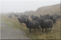SP9314 : The sheep are out in all weathers at College Lake by Chris Reynolds