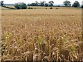 NY9071 : Barley field ripening south of Heatheridge by Andrew Curtis