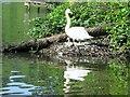 SE3640 : Swan  and  Cygnet  on  nest by Martin Dawes