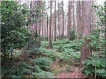 J3629 : Ferns growing on the floor of Donard Wood by Eric Jones