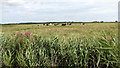 TG4419 : Dairy cows grazing on Heigham Holmes by Evelyn Simak