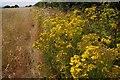 SO8934 : Ragwort in the field headland by Philip Halling