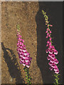 NY7469 : Foxgloves, Swallow Crags by Karl and Ali