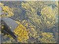 NF7107 : Seaweeds in Eòlaigearraidh harbour by M J Richardson