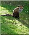 SK3284 : Fox in a Banner Cross garden, Sheffield by Neil Theasby