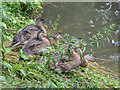 SE8382 : Young Mallards, Thornton-le-Dale, Yorkshire by Christine Matthews