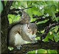 TQ3092 : Grey Squirrel in Broomfield Park, London N13 by Christine Matthews