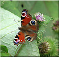 TG4520 : Peacock butterfly (Inachis io) on burdock by Evelyn Simak