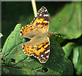 TG4520 : Painted Lady butterfly (Vanessa cardui) by Evelyn Simak