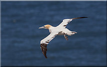 TA1974 : Gannets, Bempton Cliffs, Yorkshire by Christine Matthews