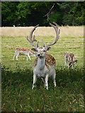 SJ5509 : Fallow deer buck at Attingham by Richard Law