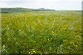 SM8031 : Impurities in a wheat field by Bill Boaden
