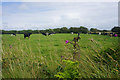 SM7728 : Cows near Hendre Eynon by Bill Boaden