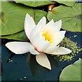 NY6128 : White waterlily (Nymphaea alba) by Tiger