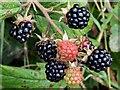 J3675 : Blackberries, Victoria Park, Belfast (August 2015) by Albert Bridge