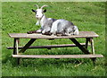 SP1975 : Goat on a picnic bench by Mat Fascione
