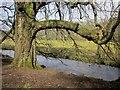 SP0613 : Tree by the Coln by Derek Harper