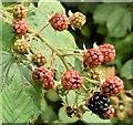 J4482 : Blackberries, Helen's Bay (September 2015) by Albert Bridge