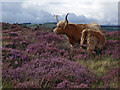 SK2674 : Long Horn Cow and Calf by Stephen Burton