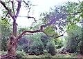 SU9484 : Pollard Oak, Burnham Beeches by Len Williams