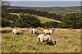 SS8536 : West Somerset : Exmoor Scenery & Sheep by Lewis Clarke