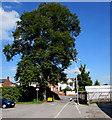 ST5716 : Dominant tree near Camborne Grove, Yeovil by Jaggery