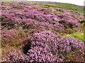 SJ1463 : Glorious heather clad hillside by Maggie Cox