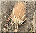 J4180 : Teasel, Cultra - September 2015(2) by Albert Bridge