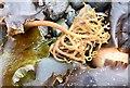 J4180 : Seaweed, Cultra - September 2015(1) by Albert Bridge