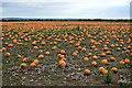 TF6622 : Pumpkin Field by John M