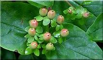 J4681 : Tutsan berries, Crawfordsburn - September 2015(1) by Albert Bridge