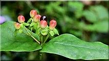 J4681 : Tutsan berries, Crawfordsburn - September 2015(2) by Albert Bridge