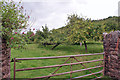 SX8659 : Apple orchard by Richard Dorrell