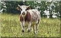 J4581 : Cattle, Helen's Bay - September 2015(1) by Albert Bridge